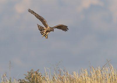 Juvenile Montegu's Harrier looking for a prey