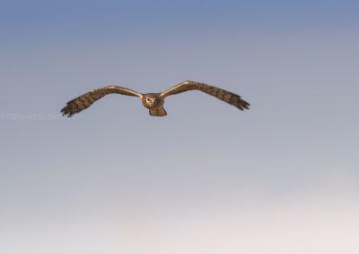 Juvenile Montegu's Harrier hunting