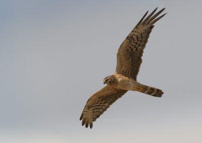 Juvenile Montagu's Harrier in flight