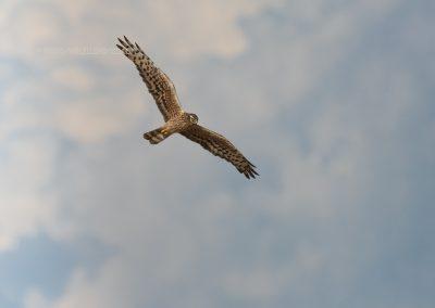 Montegu's Harrier female in flight