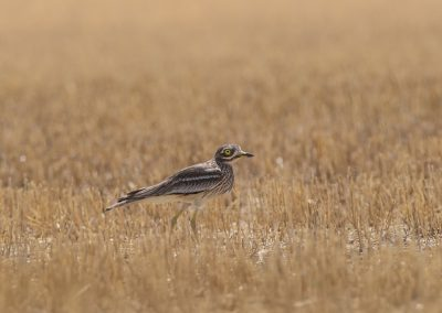 Earasian Stone-Curlew in a cutted cornfield