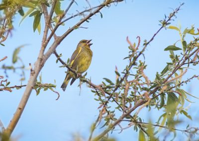 Male European Greenfinch sings his song