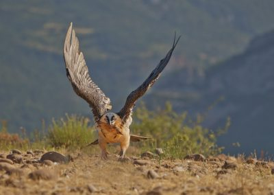 Bearded Vulture flies up with a leg of a roe deer in its beak