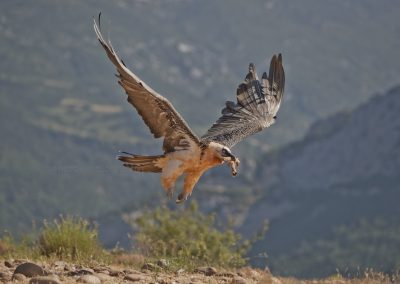 Lammergeier flies of with bones in its beak