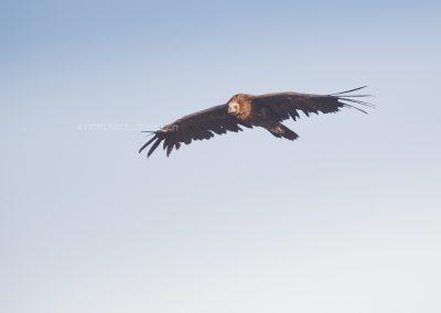 Black Vulture in gliding flight