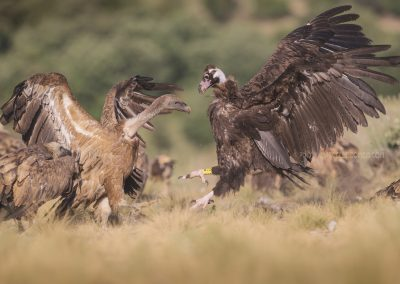 Black Vulture arguing for a prey with a Griffon Vulture