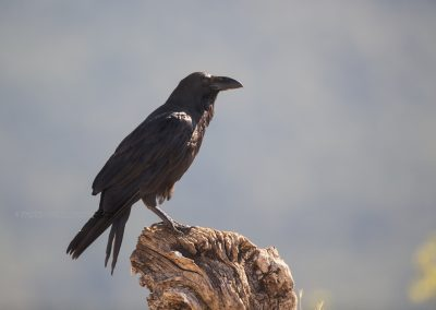 Raven resting on a trunk in the heat of the day