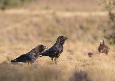 Two Ravens are looking for a chance to steal a bit of food from the vultures