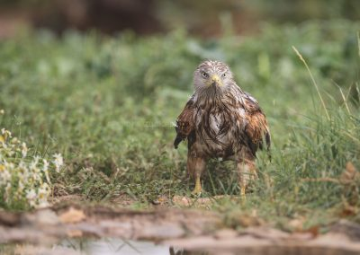 A very wet Red Kite (due to the rain) landed on the ground to eat from the prey