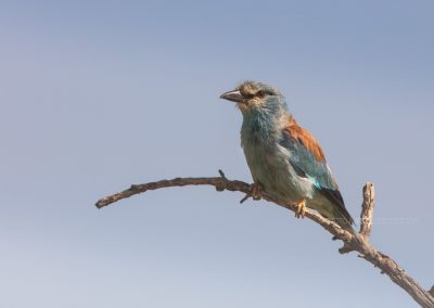 Roller watching for a prey on a branch