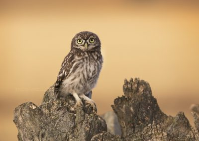 Juvenile Little Owl poses in the evening light