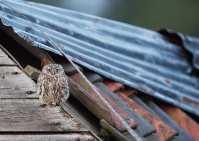 Little Owl resting on the roof of an old outhouse