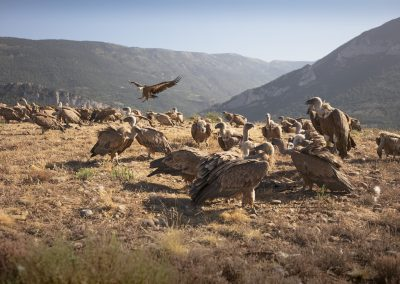 Griffon Vultures landing on cadavers