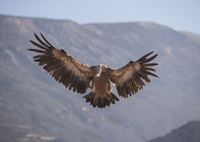 Griffon Vulture is about to land