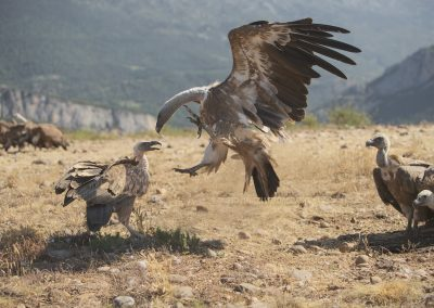 Aggression between two Griffon Vultures