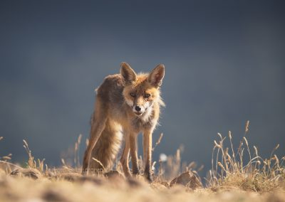 Red Fox gazing at me