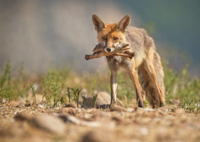 Red Fox collected a couple of bones which were left by the vultures
