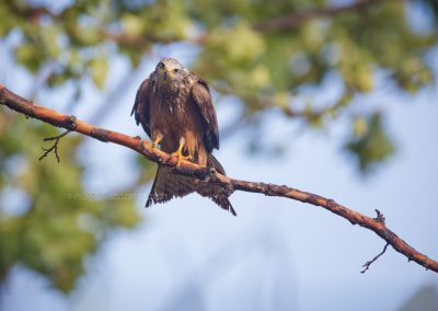 Black Kite lurking down out of a tree