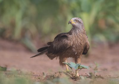 Black Kite watches around before eating from the prey