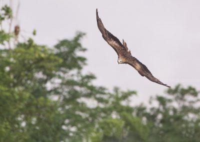 Black Kite flies around a found (dead) prey before landing on it