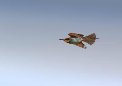 Bee-eater in (fast) flight