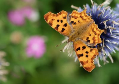 Comma or Anglewing butterfly resting on a flower