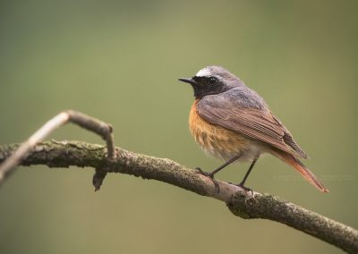 Common Redstart on a branch