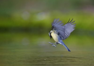 Great Tit tries to pick a piece of nut out of the water