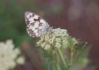 Spanish Marbled White Butterfly or Melanargia Ines, just landed on a flower