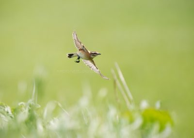 Whinchat flies out of the thicket