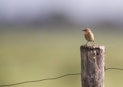 Whinchat at a lookout post