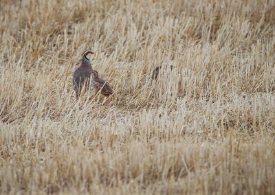 Red-legged Partridge with a chicken in a harvested cornfield