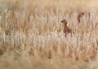 Juvenile Red-legged Partridge in a harvested cornfield in the last daylight