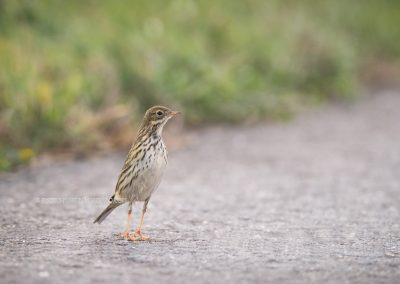 Meadow Pipit standing on his tows toe hear if everything is safe…