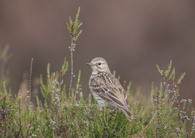Meadow Pipit on the top of a heather bush…
