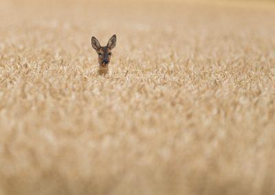 Roe Deer goat in aa corn field