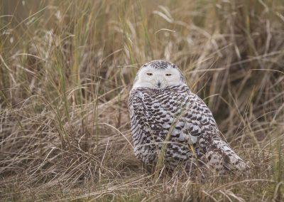 Snowy Owl resting