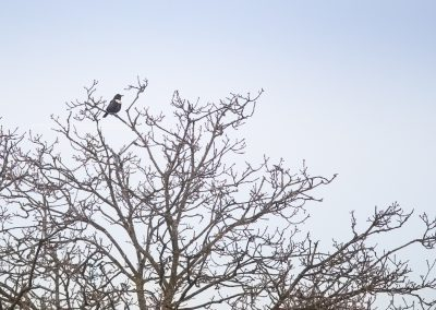 Ring Ouzel at the top of a tree on his way back two the north during the migration