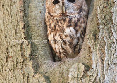 Bosuil rustend in een boomgat