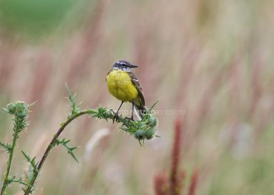 Yellow Wagtail rests on a thistle