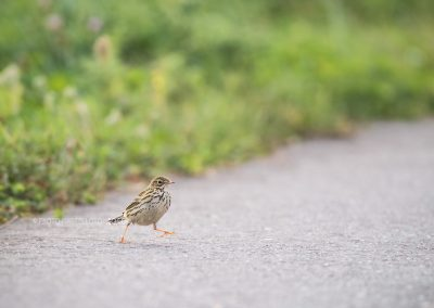Meadow Pipit wals on the road during foraging