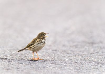 Meadow Pipit (Anthus Pratensis) calling