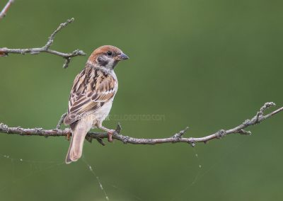 Earasian Tree Sparrow posing for a split second on a branch...