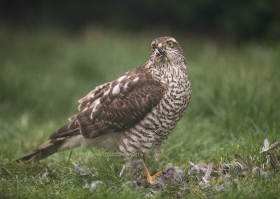 Sparrowhawk looks up from his prey