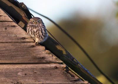 Little Owl warms up in the early morning sun