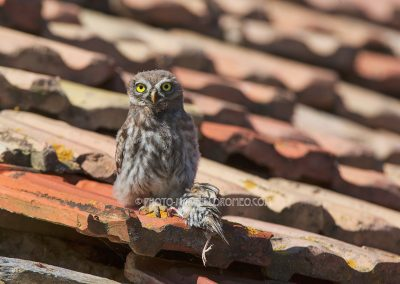 Juvenile little owl sits on the roof with a prey (tree sparrow) in his claw