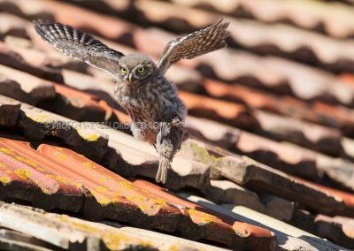 Juvenile Little Owl flies up with a prey (tree sparrow) in his claw