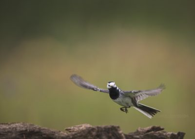 White Wagtail flies up