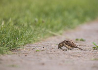 Wryneck picking ants out of the road