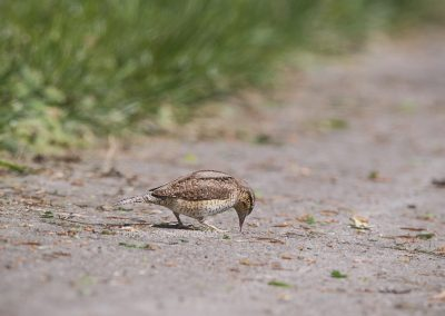 Wryneck licks ants out of a slit in the concrete path
